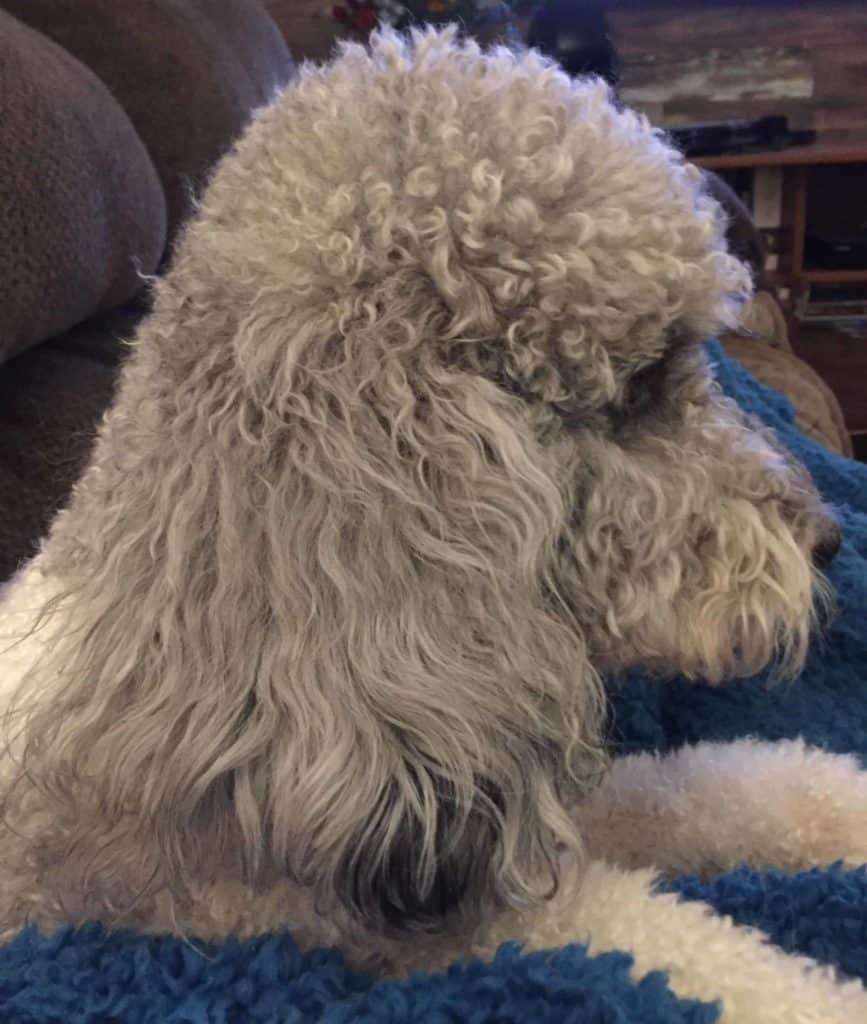 Dilly is a multi-generational Australian Labradoodle. While her genetics say she is black, she has matured into a beautiful silver color.