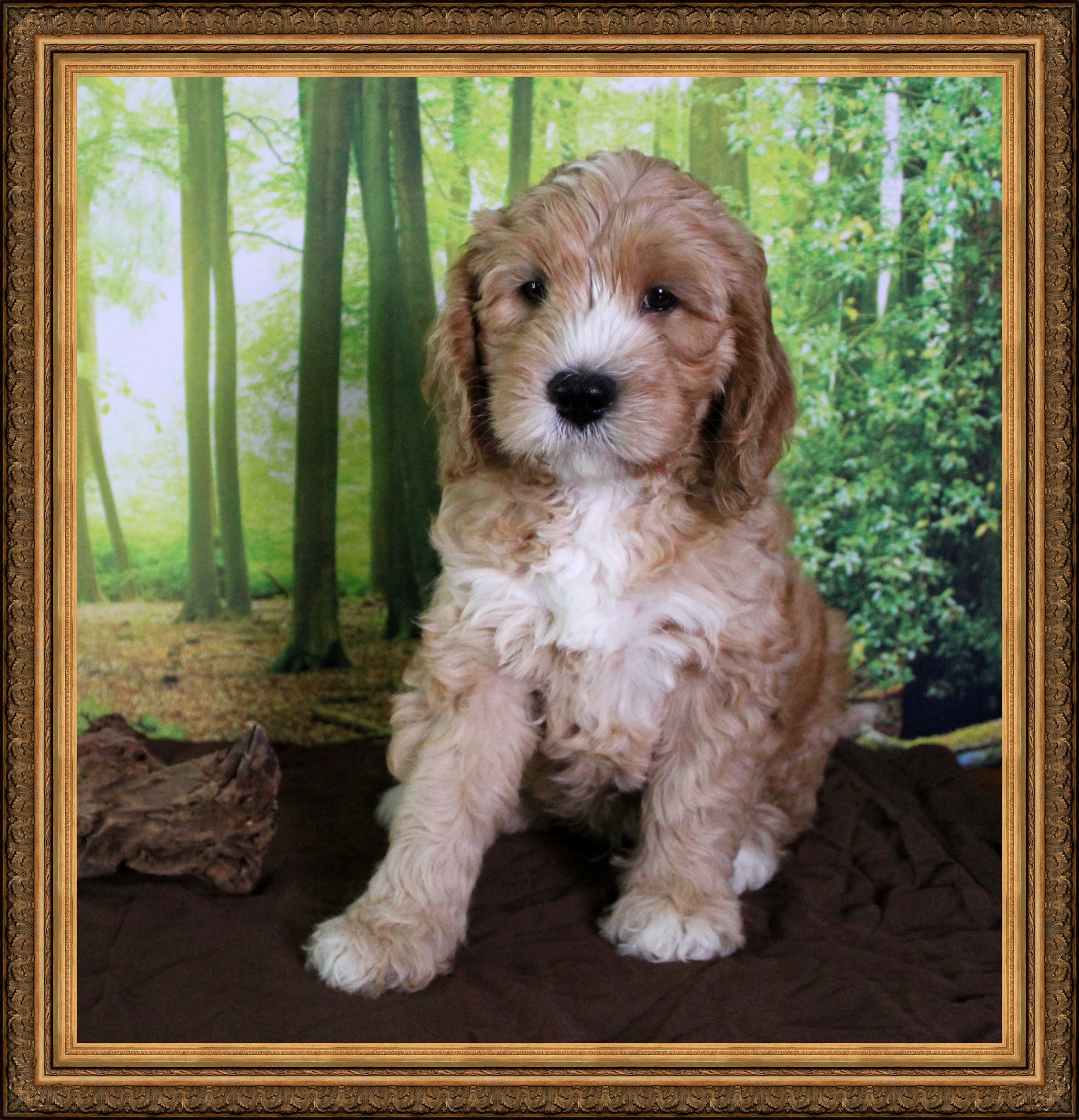 8 week old apricot Australian Labradoodle puppy