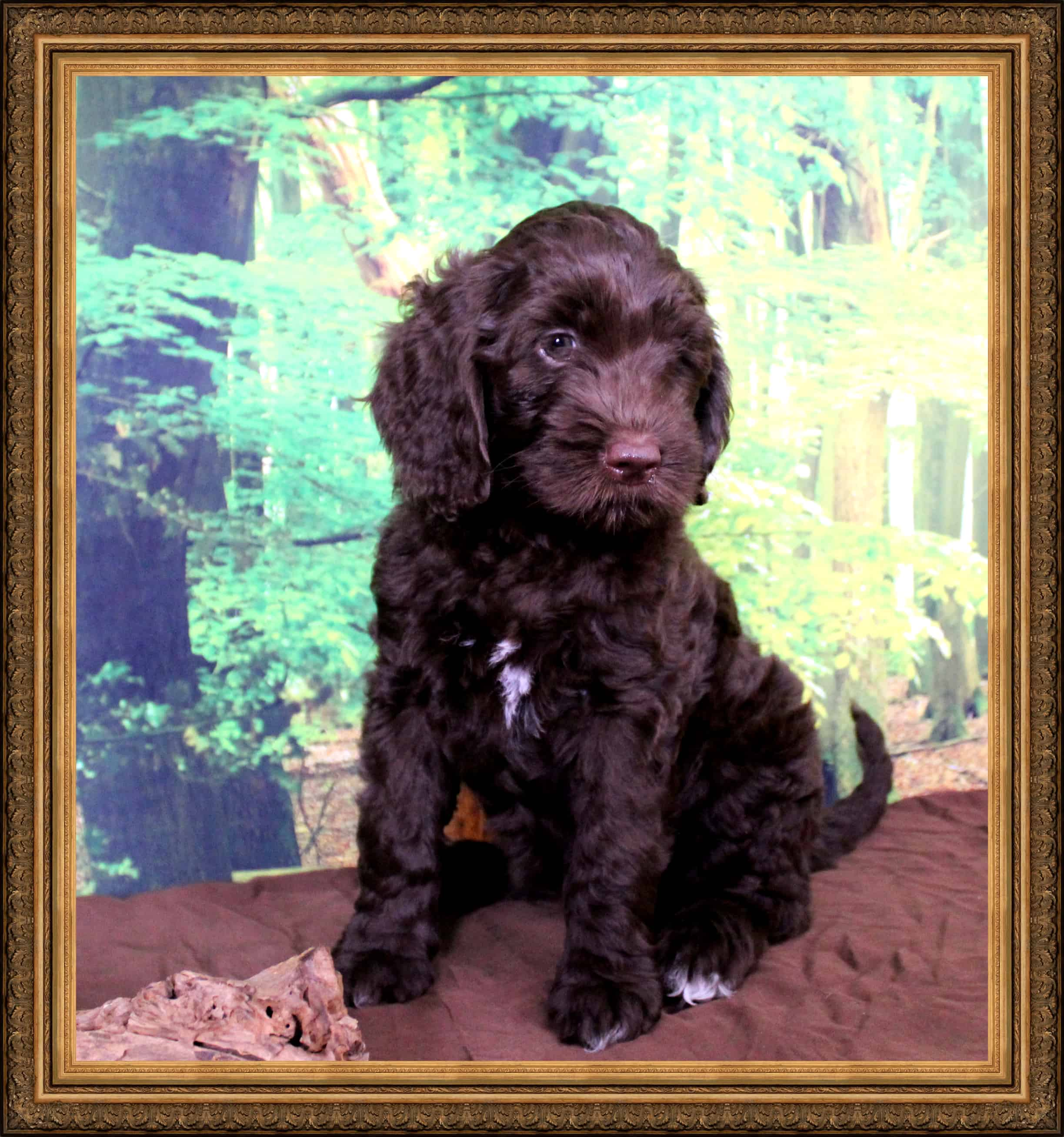 8 week old chocolate Australian Labradoodle puppy