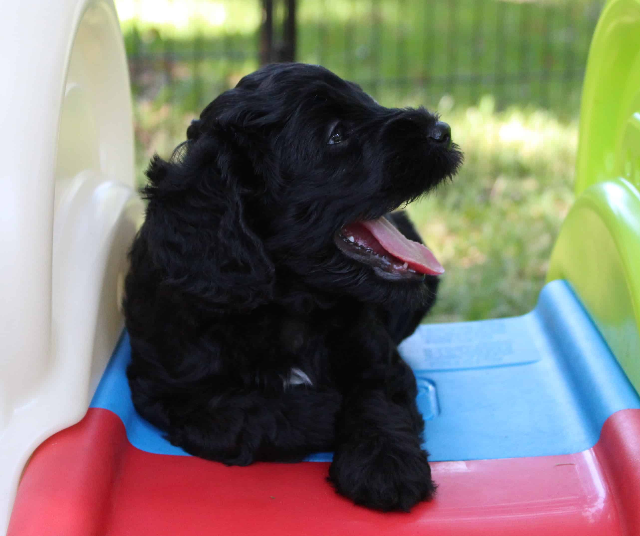 JoaLins' multi generational Australian Labradoodle puppy called Colby from Caiya's Spring 2019 litter