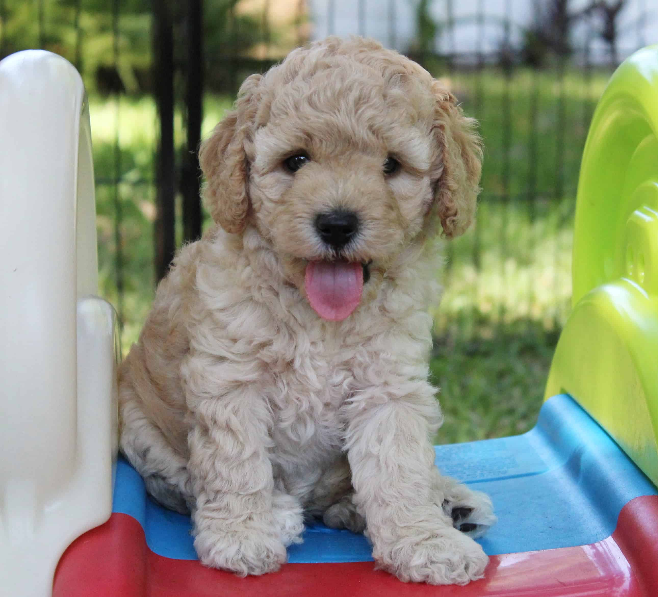 JoaLins' multi generational Australian Labradoodle puppy called Havarti from Caiya's Spring 2019 litter