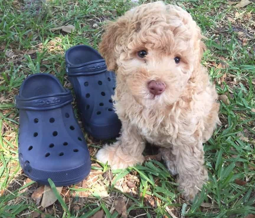 JoaLins' multi generational Australian Labradoodle puppy called Brie