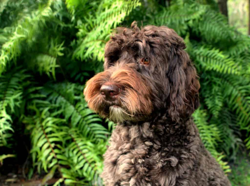 JoaLins Kesi is a chocolate multi generational Australian Labradoodle