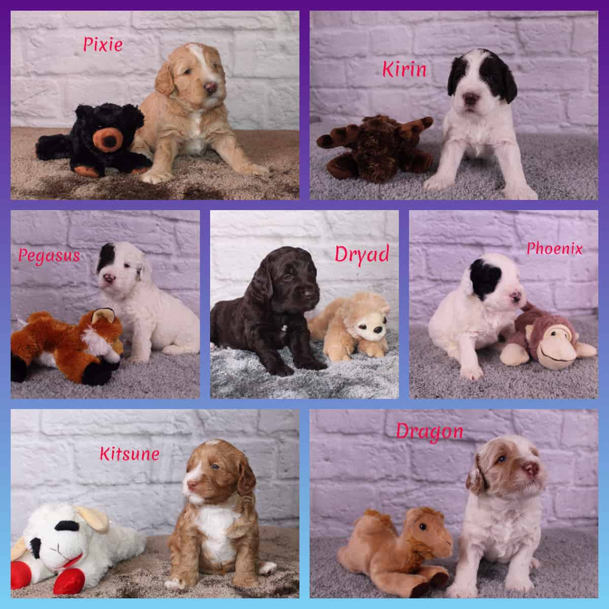 JoaLins Australian Labradoodle puppies from Kesi's mythology litter - summer 2019