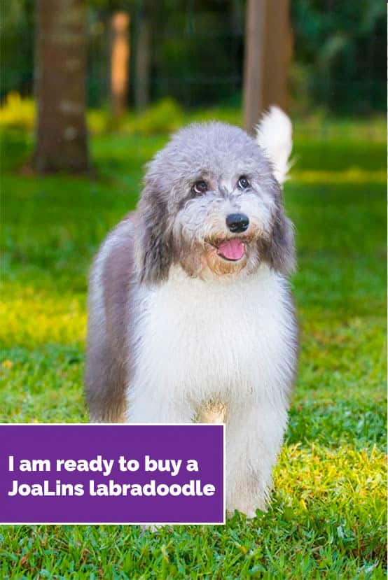 I am ready to buy a JoaLins labradoodle