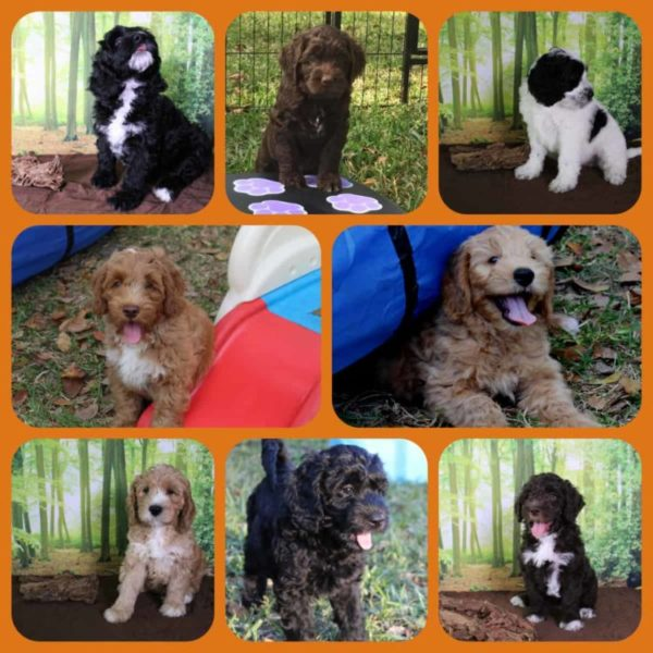 JoaLins Australian labradoodles collage of Kesi's Fall 2018 litter at 6 weeks