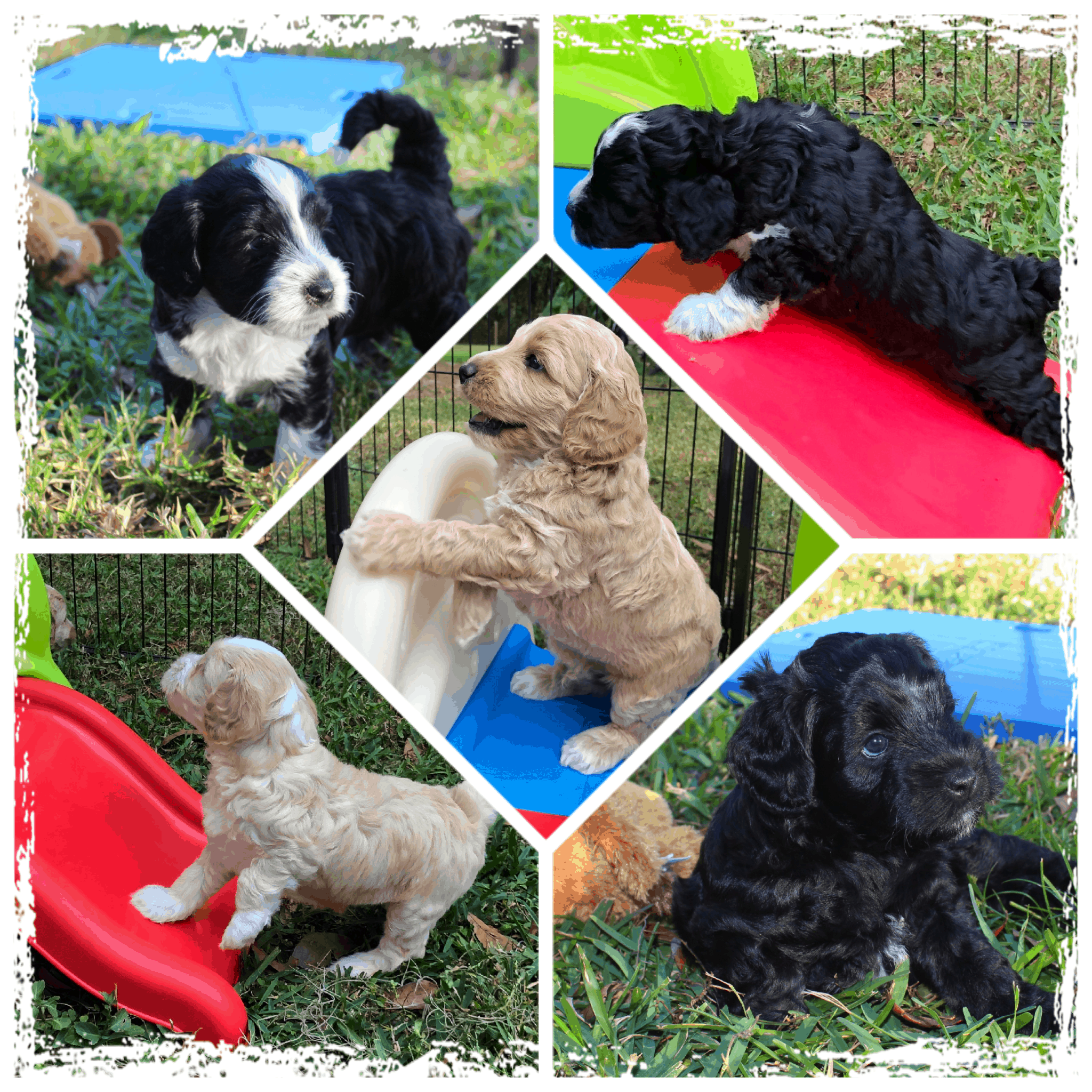 Caiya's Fall 2019 litter of Australian Labradoodle puppies