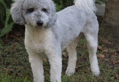 Rare silver Australian Labradoodle from JoaLins