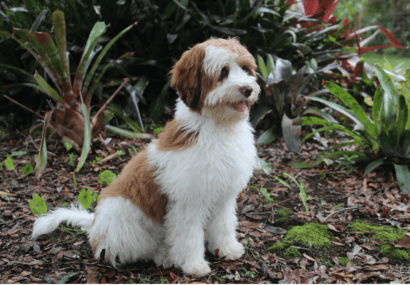 Chocolate sable Australian Labradoodle puppy from JoaLins