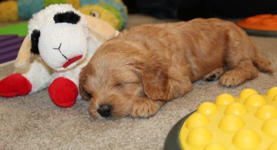 puppy sleeping with lampchop