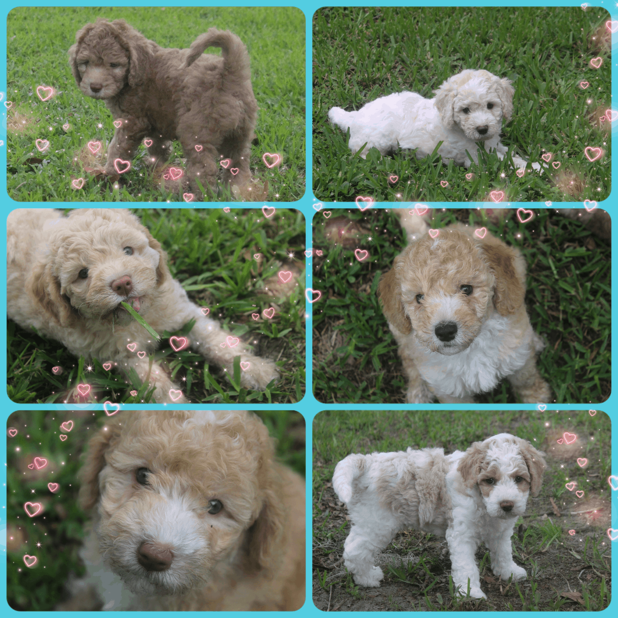 Dilly and Coco's litter of 6 Australian labradoodle puppies were born on April 29, 2020. They are adorable large mini puppies and have gone to fabulous homes.