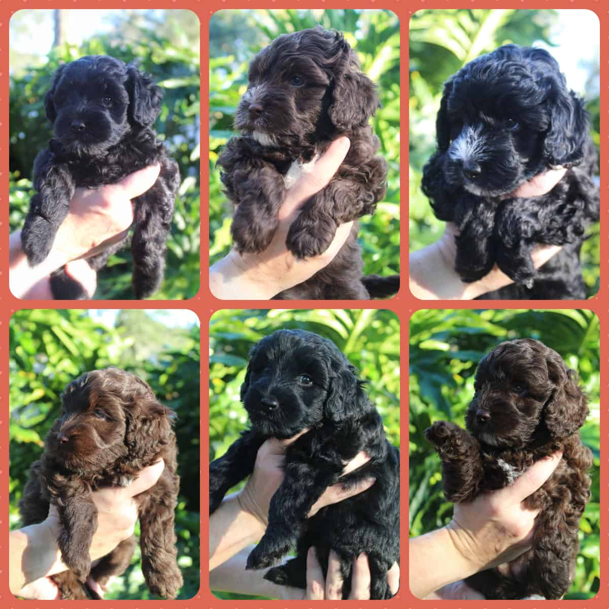 Caiya and Sire Connor has a delightful llitter of 6 Australian Labradoodle puppies in the Fall of 2020.