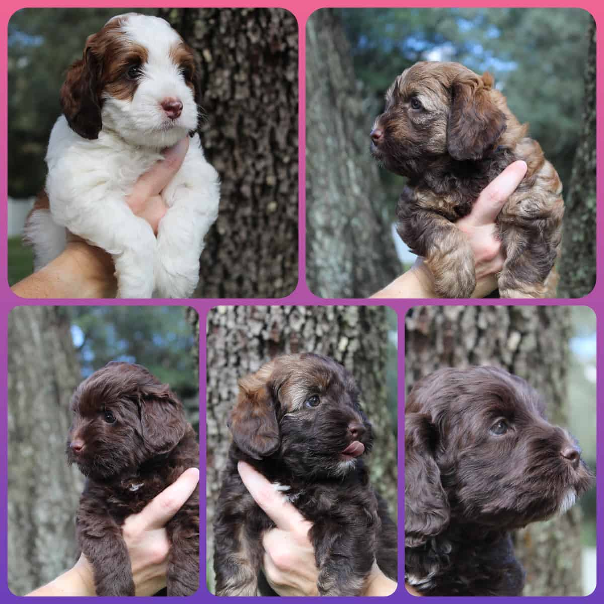 Reak and Buddy';s litter of Australian Labradoodle puppies from Fall 2020