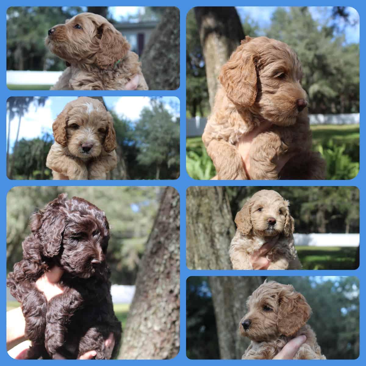 Kesi's Australian Labradoodle puppies - Fall 2020