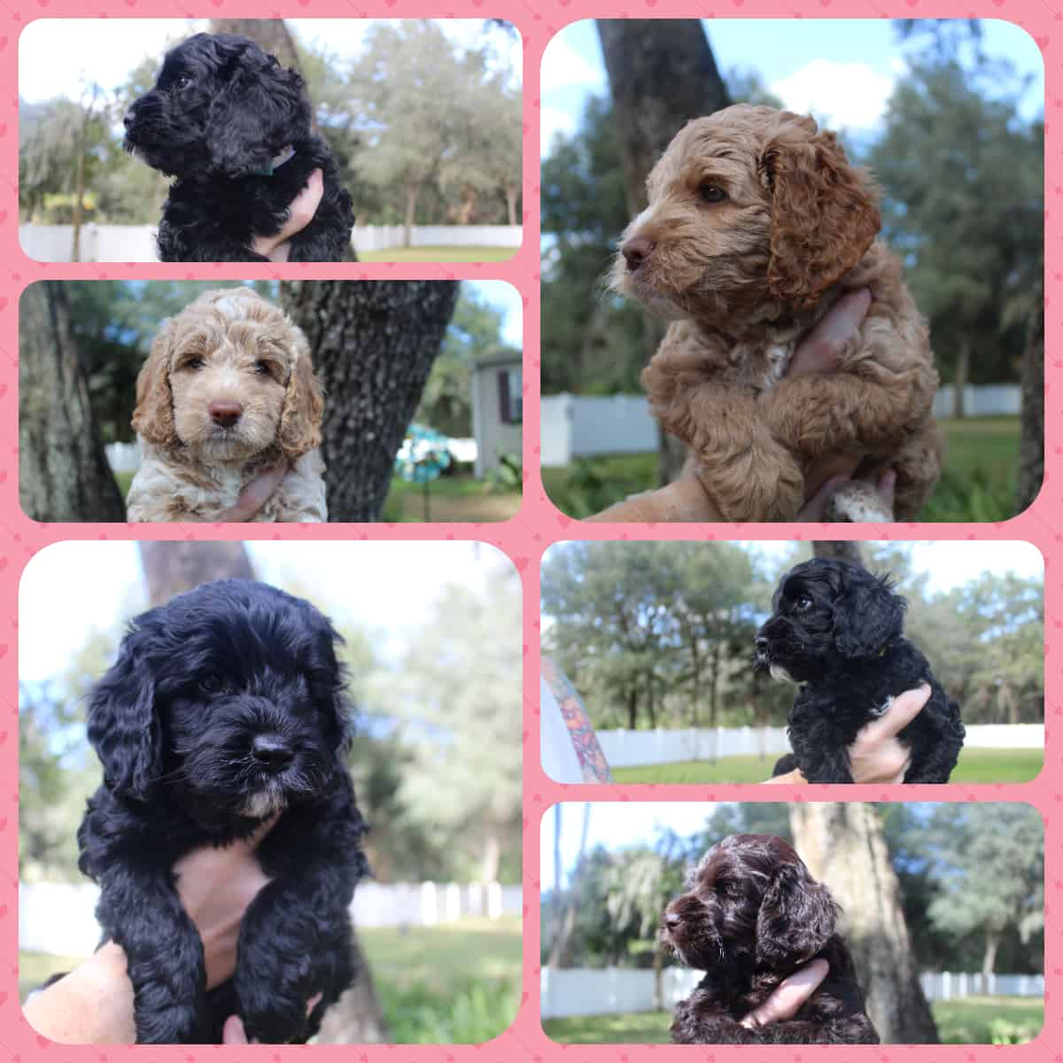 Kesi and Leo's Fall 2020 litter of Australian Labradoodle puppies