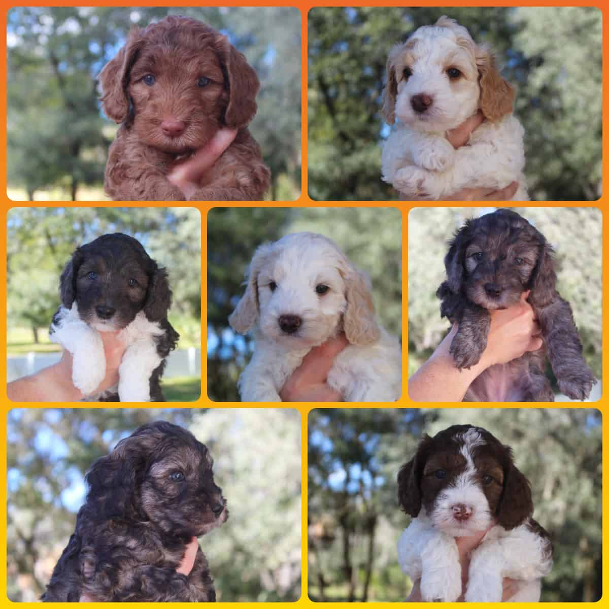 Australian Labradoodle puppies at 6 weeks old from Dilly's Fall 2020 litter