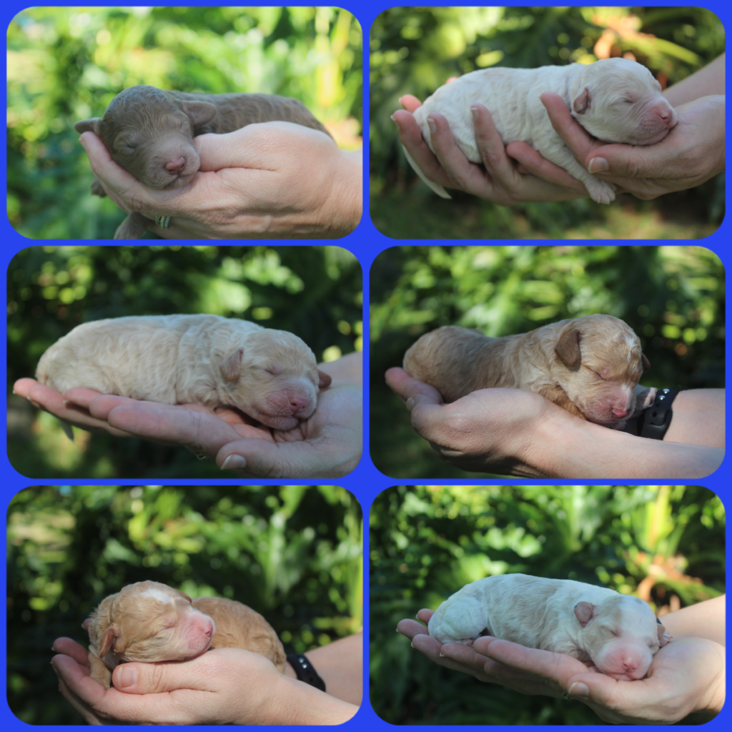 Australian labradoodle puppies are just a few days old