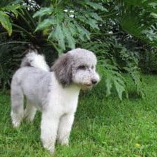 Dilly is a multi-generational Australian Labradoodle who is a rare shade of silver.