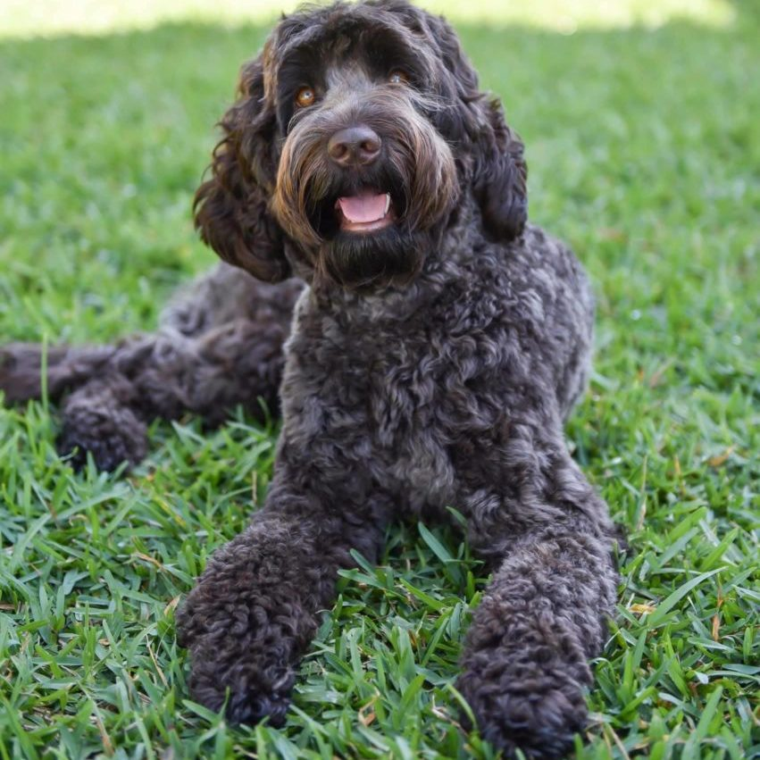 Kesi, our beautiful chocolate Australian Labradoodle
