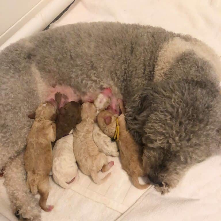 Dilly and her 6 adorable Australian Labradoodle puppies at a few hours old