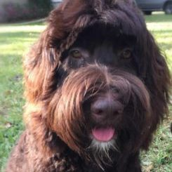 Kesi is a chocolate multi generational Australian Labradoodle